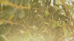 Olive tree branch on a windy day Stock Footage