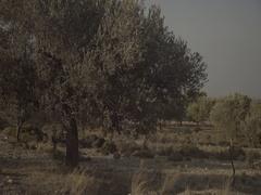 S-LOG: Olive tree plantation Stock Footage