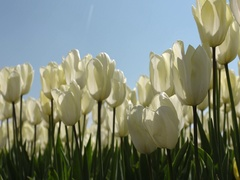 CLOSE-UP: Tulip field in netherlands with blooming Tulips Stock Footage
