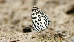 Butterfly feeding on the ground. Stock Footage