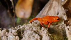 Strawberry Poison Dart Frog Dendrobates Pumilio Stock Footage