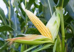 Corn on the stalk Stock Photos