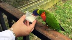 Rainbow lorikeet (Trichoglossus moluccanus) drinks milk Stock Footage