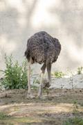 Image of an ostrich on nature background. Wild Animals. Stock Photos