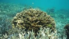 Leaf coral reef fish underwater Pacific ocean Stock Footage