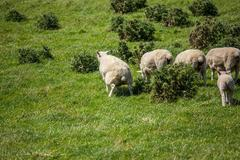 Sheep piss in green grass in New Zealand Stock Photos
