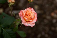 Emmarentia Botanical Garden - Rose flowers Stock Photos