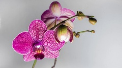 Closeup orchid flower blossom growing time-lapse Arkistovideo