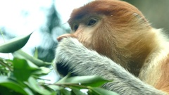 Long-nosed monkey eating Stock Footage