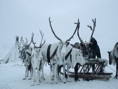 Siberian man putting harnesses on his reindeers.  Russia . Shot on Red Epic Stock Footage