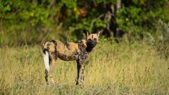 Wild Dog in profile Stock Footage