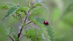 Ladybird / Ladybug and Aphids on stinging nettles Stock Footage
