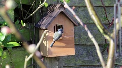 Male bluetit building nest in nestbox Stock Footage