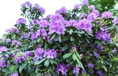 Photo of azalea indica happy days evergreen shrub Stock Photos