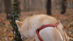 Dog Akita Inu Stock Footage