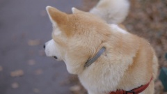Dog Akita Inu. Stock Footage