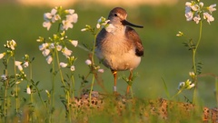 Terek Sandpiper. Song. Spring. Male with rings. Stock Footage