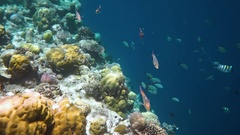 Topical saltwater fish ,clownfish - Coral reef in the Maldives Stock Footage