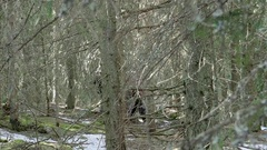 Tourists who go through a pine forest on a trail and are chased by som Stock Footage