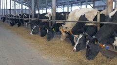 Cows in farm barn eating hay. Cow farm indoors Stock Footage