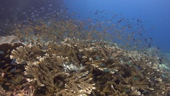 Coral with lots of colourful tropical fish Stock Footage