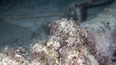 Juvenile harlequin/many spotted sweetlips reveal shot Stock Footage