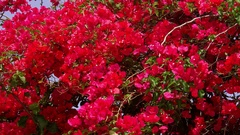 RED BOUGAINVILLEA FLOWERS ELOUNDA CRETE GREECE Stock Footage