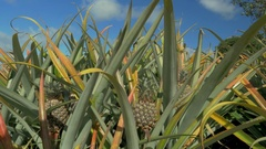 View of pineapple plants farm in summer season against blue sky, Mauritius Stock Footage