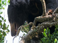 Wild Sloth Bear on tree in Yala national park Sri Lanka. Wildlife animals safari Stock Footage