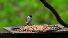 MARSH TIT NUTHATCH COAL FORGE VALLEY EAST AYTON Stock Footage
