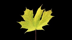 Time-lapse of drying Maple leaves in RGB + ALPHA matte Stock Footage