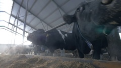 Dairy cows in cowshed sniffing camera. Extreme closeup ants eye view Stock Footage
