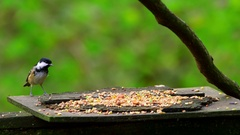 COAL TIT BLUE TITS FEEDING FORGE VALLEY EAST AYTON Stock Footage