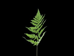Time-lapse of drying Fern leaves, 4K with ALPHA Stock Footage