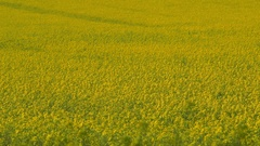 YELLOW RAPESEED FIELD SCARBOROUGH NORTH YORKSHIRE Stock Footage
