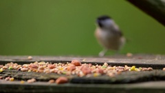 MARSH TIT COAL BLUE TITS FORGE VALLEY EAST AYTON Stock Footage