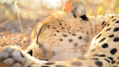 Cheetah Resting with focus pull to paw Stock Footage