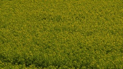 YELLOW RAPESEED WIND SCARBOROUGH NORTH YORKSHIRE Stock Footage