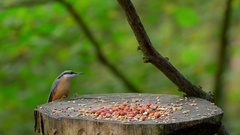NUTHATCH CHAFFINCH FEEDING FORGE VALLEY EAST AYTON Stock Footage