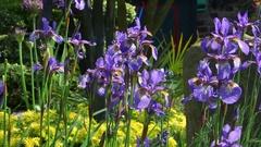 IRIS VERSICOLOR BLUE FLAG FLOWERS ENGLAND Stock Footage
