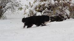 Bernese Mountain Dog in winter Stock Footage