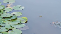 A green frog blinks an eye in a pond lake Stock Footage