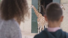 4K Young boy & his mother looking at family of giraffes at wildlife park Stock Footage