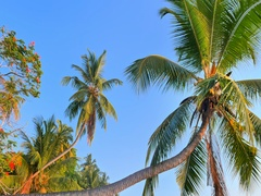 HDR 4K video of tropical paradise nature. Camera moving under curved palm trees Stock Footage