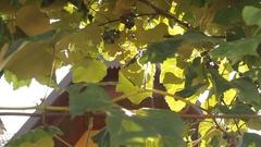 Wine Vineyard sunlight through grape leaves Stock Footage