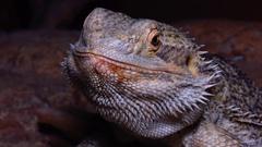 Agamid lizard (Pogona vitticeps), the bearded dragon Stock Footage