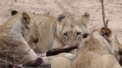 Lions devours prey Stock Footage