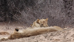 Grooming lionesses Stock Footage