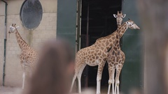 4K Portrait happy little girl looking at giraffes at wildlife park Stock Footage