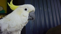Sulphur Crested Cockatoo, Slow Motion Stock Footage